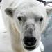 Seaworld San Diego: Szenja (Polar Bear)