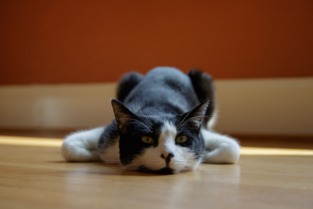 Our cat Boo rests on the hardwood floor