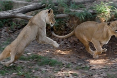 Wildlife Wednesday: Lions Playing at the National Zoo - October, 2016