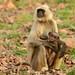 Common Langur (Pradeep Singh)