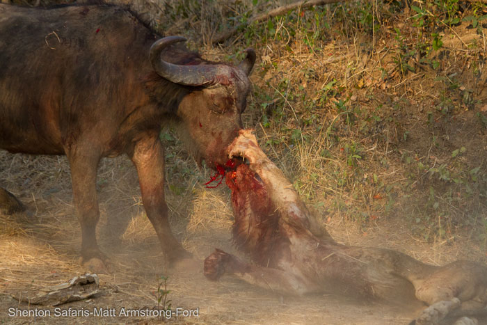 lion-buffalo-battle-luangwa