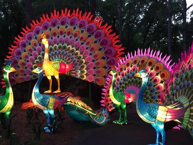 Zoominations Peacocks