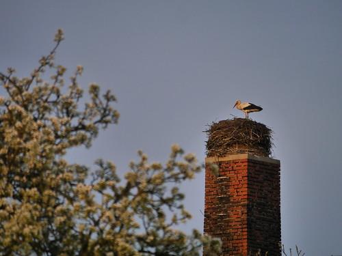 Storch angekommen #2