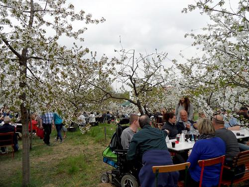 Kaffee und Kuchen unter blühenden Kirschbäumen - 136. Baumblütenfest Werder 2015