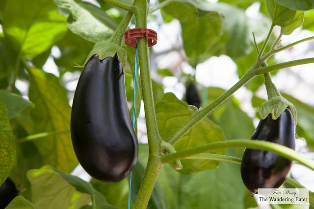 Eggplants growing