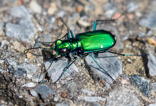 Six-spotted tiger beetle runs amuck