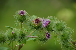 Pink Thistles and buds