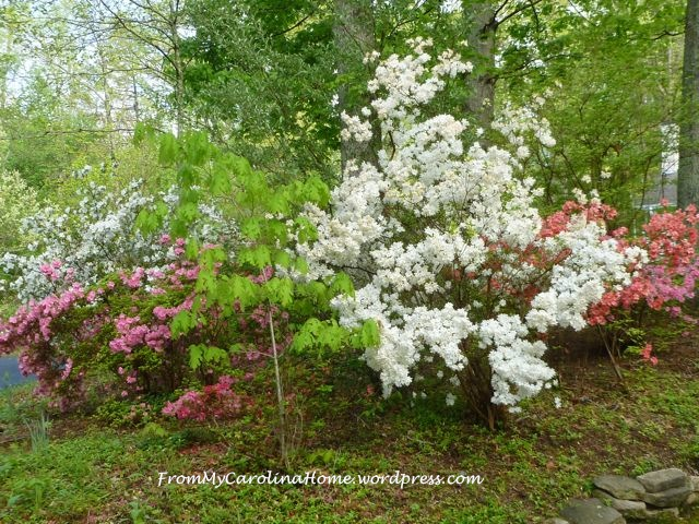 Azaleas late April 2015 - 7