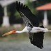 adjutant stork flying low...at Alamanda Heron Kingdom by Tok Ki, an idiot with cameras & birds. 2m Views