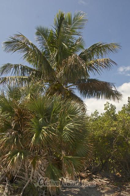 coconut palm-tree 0000 Key Biscayne, Miami, Florida, USA