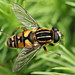 Hoverfly Helophilus pendulus by Lord V