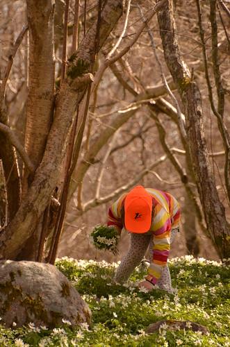 trees spring april träd vår åland woodanemones vitsippor ramsholmen