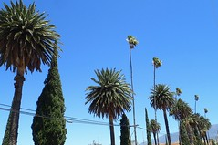 Beautiful palms in Banning