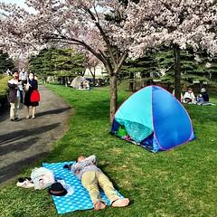 Spring in Sapporo with beautiful blossoms. #instajapan #japan #japonia #sapporo #hokkaido #dusk #railway #japanese #instaphoto #instagram #instapic #streetphoto #streetphotography #stunning_shots #sky #instacity #picoftheday #japonia #traveling #traveling