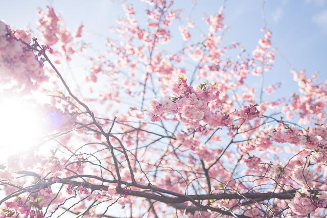 Cherry Blossom | Cashew Kitchen