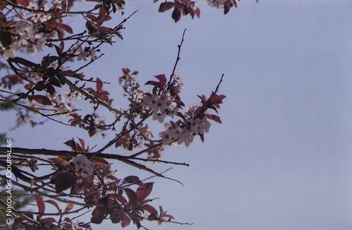 """""""Cherry Tree"""" Nikon F75 Kodak ProImage 100"""