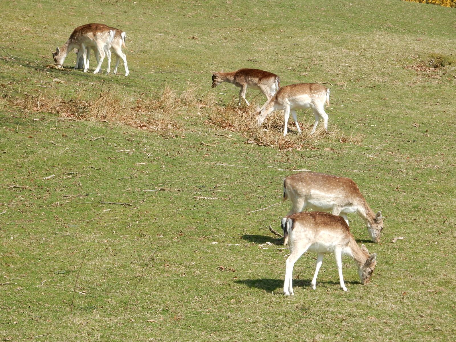 Knole Park deer Sevenoaks Circular