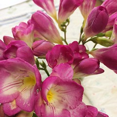 we've been enjoying lots of freesia from the lanai* #freesia #japan #osaka