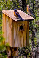birdhouse, fauna, bluebird, bird,