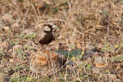 Ashy-crownes Sparrow Lark - male