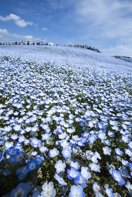 Hitachi Seaside Park : Japan_05