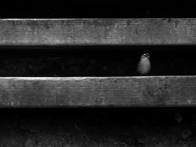 White-crowned sparrow on wooden steps to Marshall Beach; The Presidio, San Francisco.  April 29, 2015