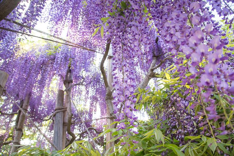 ashikaga_flowerpark-58