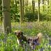 Bluebell woods by Davoski