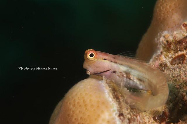 そして、イシガキカエルウオ幼魚のスーパーカワイイしぐさも初夏だけの楽しみ♪