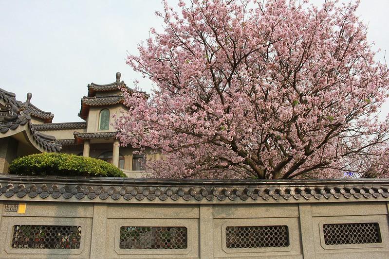 17度C在地景點春季推薦-東方室-櫻花 (28)