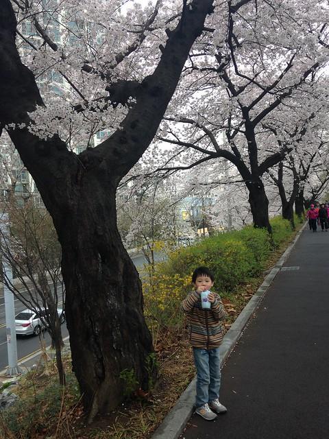장안벚꽃길.. 주말에 벚꽃이 활짝