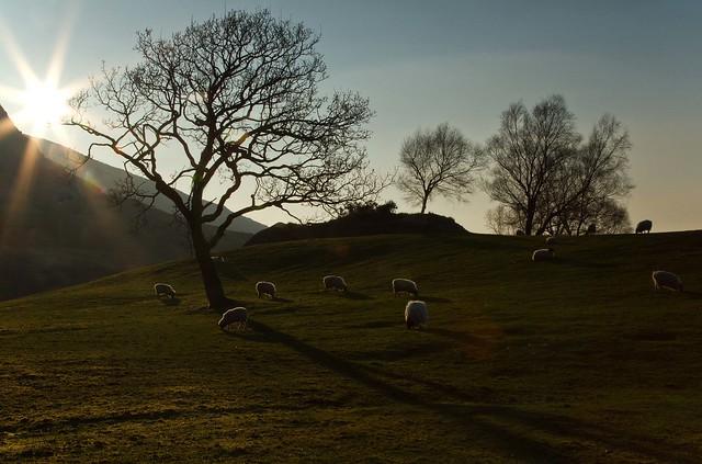 Three trees glenincahquin sheep 15