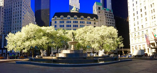 Callery Pear Trees in front of the Plaza Hotel