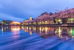 Saitama sakura, Japan