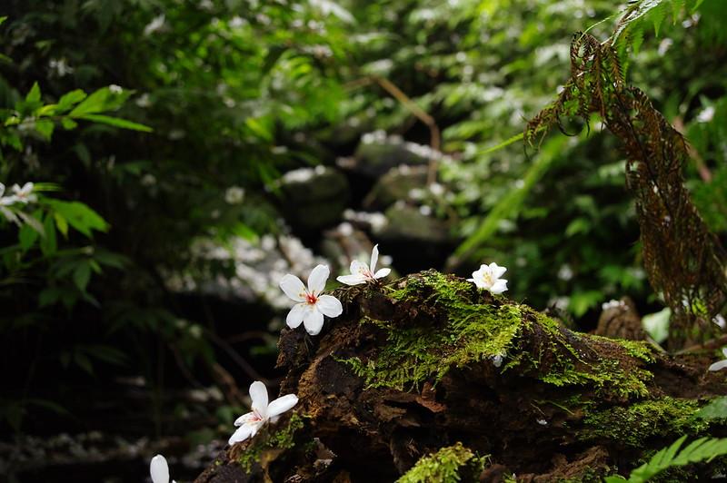 瑪陵坑找桐花