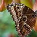Butterfly by Delbrückerin
