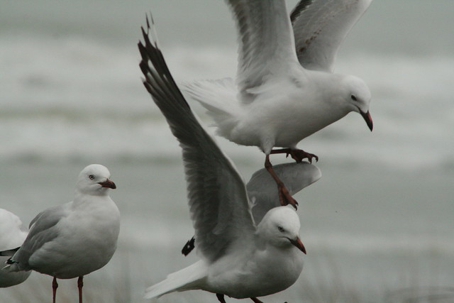 red billed gull anding, Canon EOS 400D DIGITAL, Canon EF 90-300mm f/4.5-5.6 USM