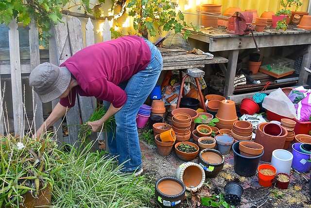 Jill Weaver pulling some weeds in our potting area, 14 May 2016