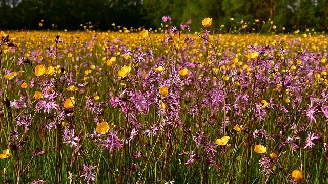 Early summer meadow