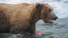 Grizzly spożywa rybę