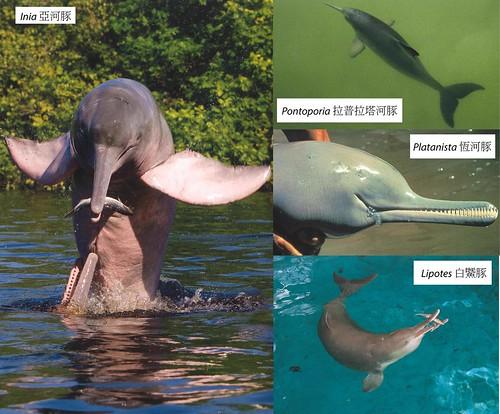 四種現生的河豚。圖片來源:Wilson, D. E. and Mittermeier, R. A. eds. 2014 Handbook of the Mammals of the World. Vol. 4. Sea Mammals. Lynx Edicions, Barcelona.