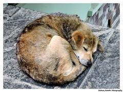 Sikkim Darjeeling Tour 2014 - Cute dog