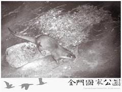 金門-歐亞水獺(陽明水庫-20150222)