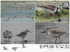 金門水鳥族群研究成果-01
