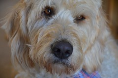 dog breed, animal, dog, schnoodle, petit basset griffon vendã©en, pet, tibetan terrier, norfolk terrier, glen of imaal terrier, poodle crossbreed, havanese, spinone italiano, catalan sheepdog, sapsali, dandie dinmont terrier, lakeland terrier, irish soft-coated wheaten terrier, cockapoo, goldendoodle, west highland white terrier, carnivoran, terrier,