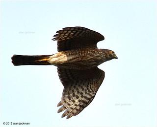 Coopers Hawk, Birds of John Heinz Wildlife Refuge