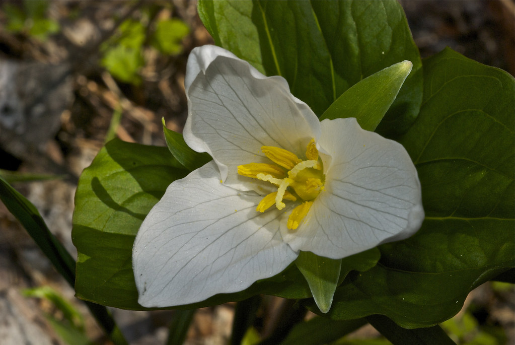 Western White Trillium