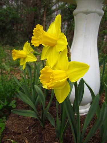 Daffodil #2