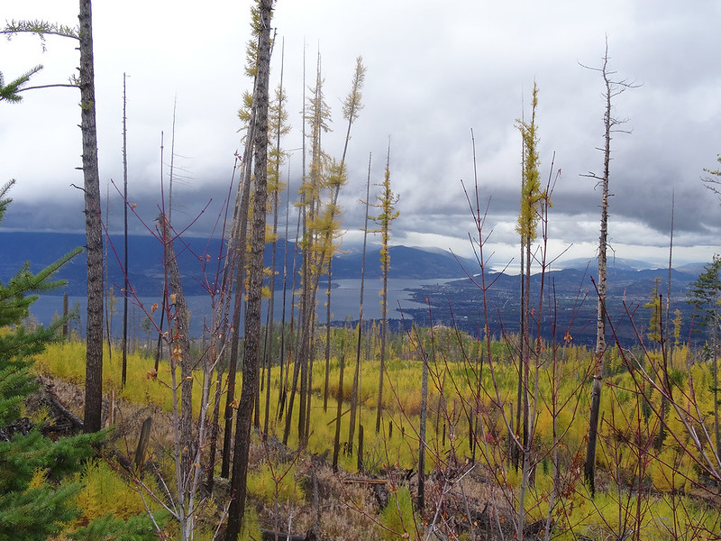 Image of once burnt forest along the route when cycling in the Okanagan