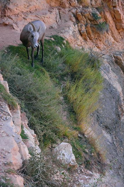 IMG_2775 Bighorn Sheep